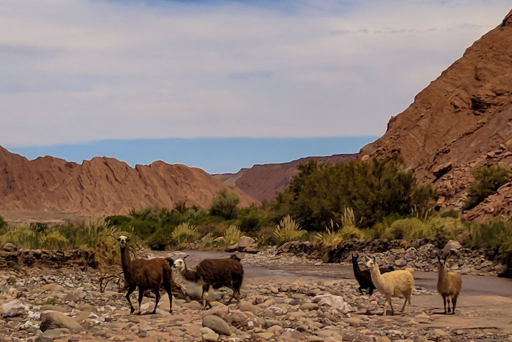 A group of five alpacas wandering the desert with red hills and mountains in the background