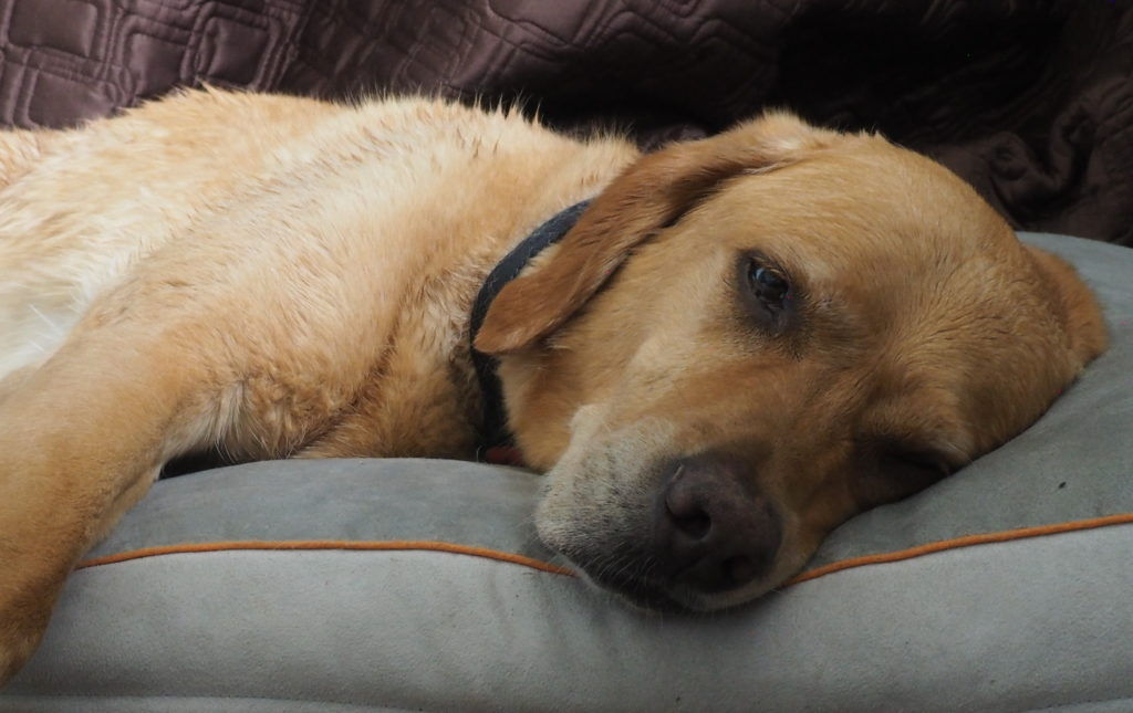 An exhausted yellow lab on a pillow