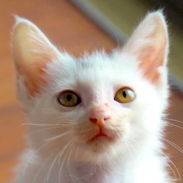A white kitten looking at the camera