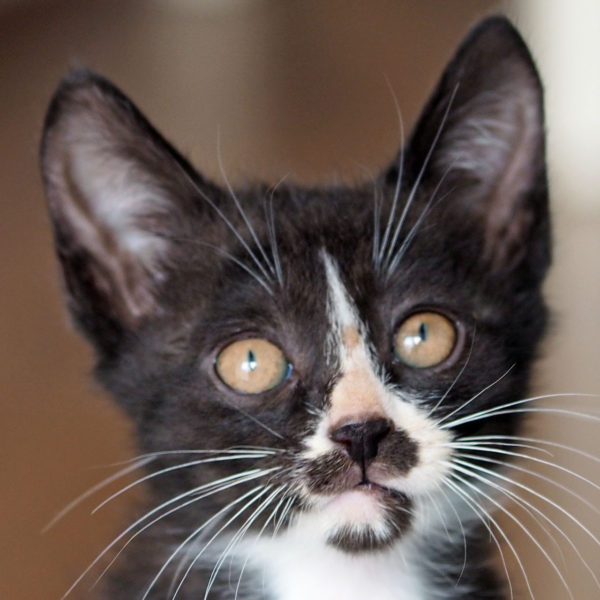 A tuxedo kitten looking at the camera