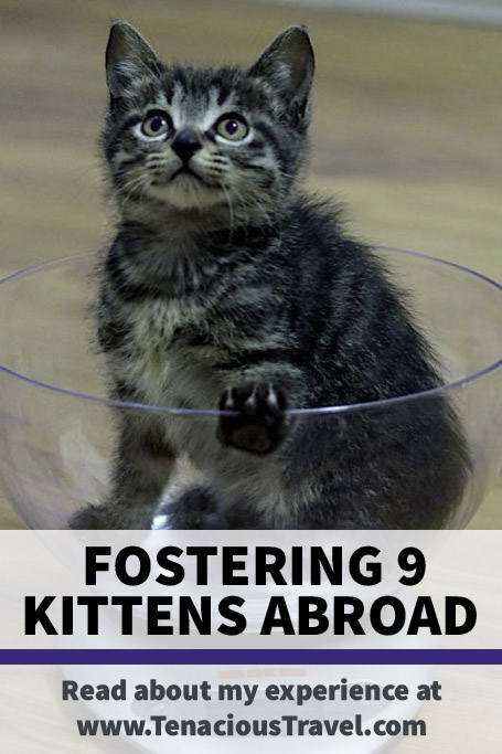 Pinterest banner with tabby kitten sitting in scale