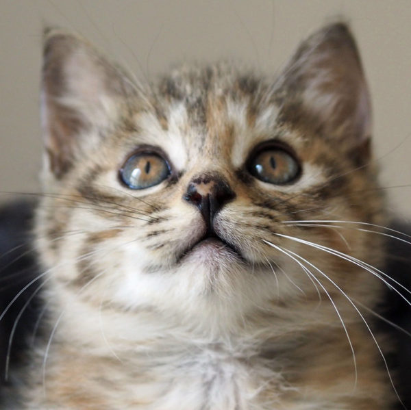 A tabby kitten looking at the camera