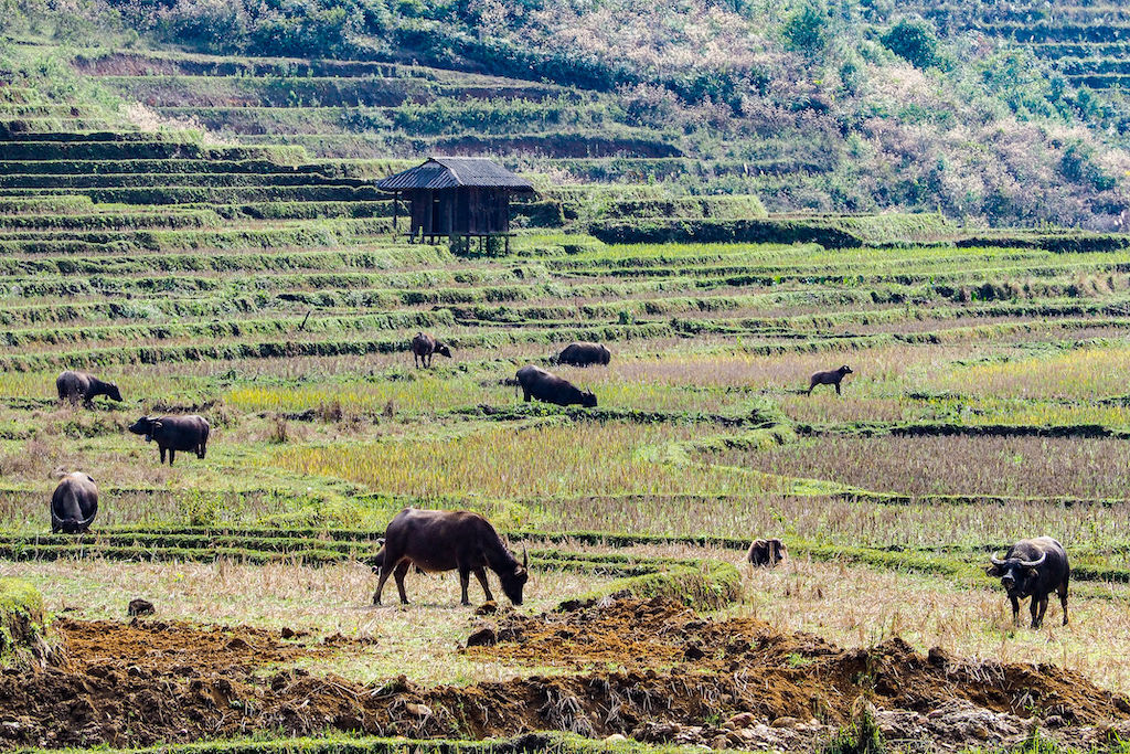 Vietnamese water buffalo graze the grass on a green field of rice paddies