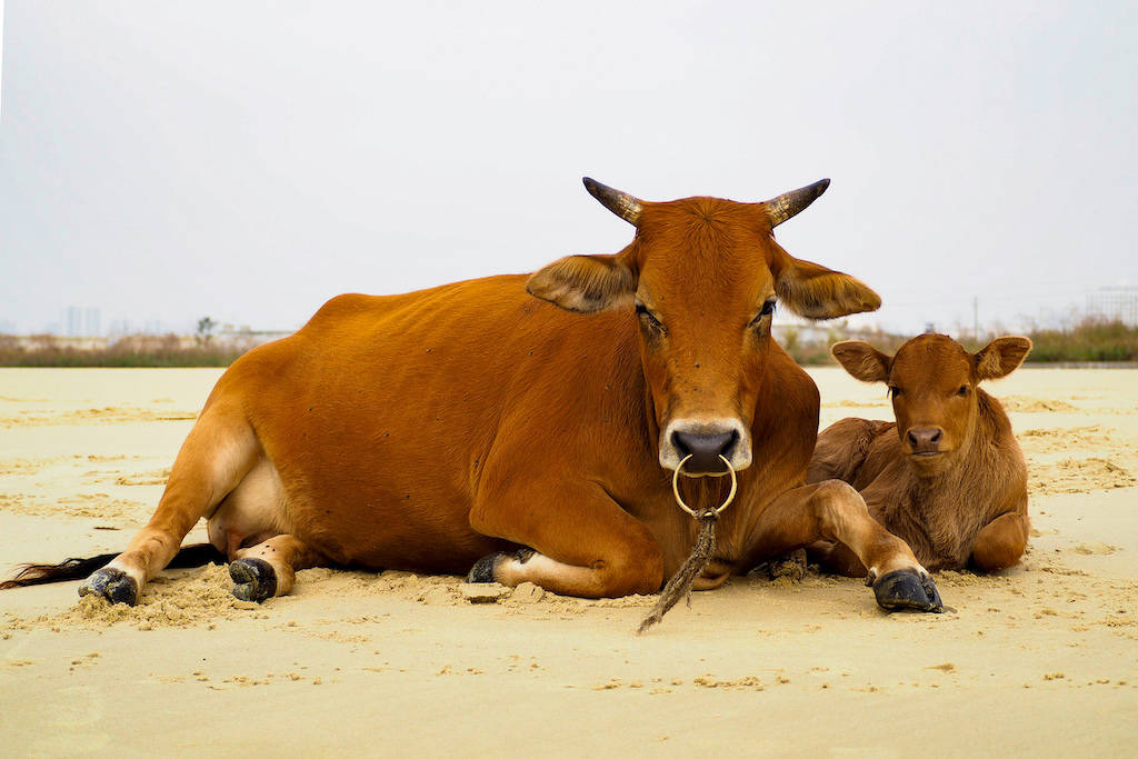 Two cows sitting in the sand during a bad travel experience in Beihai, China
