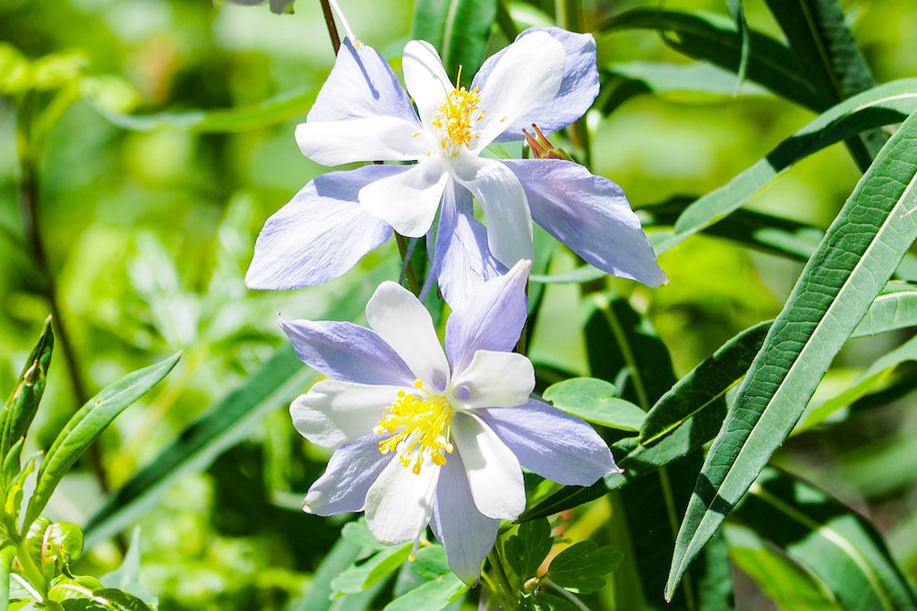 Two blooming Columbine flowers along the Booth Creek Trail
