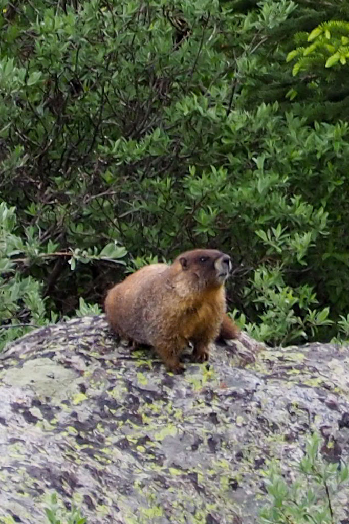 A marmot sits on a lichen covered rock on a hiking trail near Mount Evans