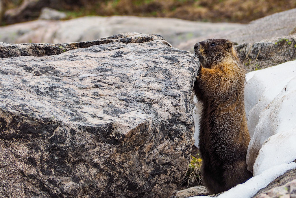 A marmot peaking its head over the top of a rock in White River National Forest