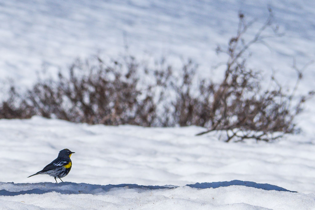 A bird with a yellow breast on a snow bank