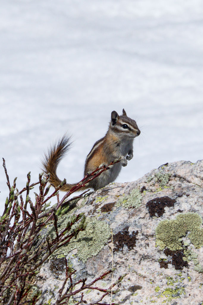 A chipmunk with a curved tail on top of a lichen-covered rock